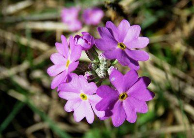 Bezdelīgactiņa - agrāk tik bieži sastopama, tomēr tagad jau jāpriecājas par katru ziedu - un te to netrūkst.