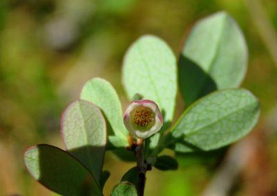 Zilenes zieds