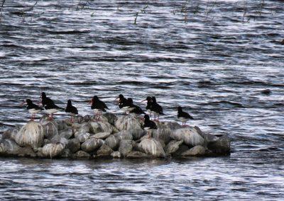 Putnu Engures ezerā netrūkst. Jūras žagata, Haematopus ostralegu