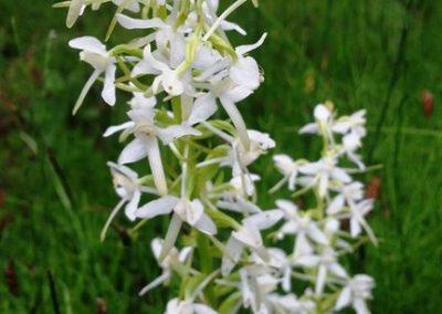 Naktsvijoles un citi orhideju dzimtas augi te bija vērojami lielā daudzumā