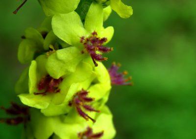 Melnā deviņvīru spēka (Verbascum nigrum) zieds tuvplānā