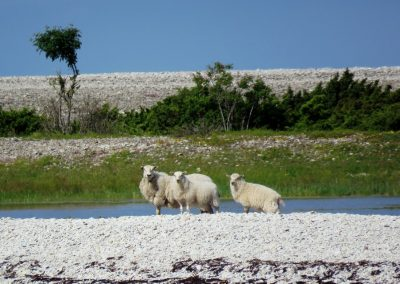 Salā ir ap 250 aitu (Foto: Inese Andersone)