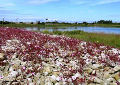 Lagūna, purva mala, ziedi un akmeņi - to varētu nosaukt par tipisku salas ainavu (Foto: Zaiga Kaire)