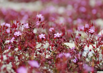 Akmeņi ir nabadzīga vide, kur kaut kam augt, tomēr jūlijā pilnā krāšņumā zied augi, kas te labi iejutušies (Foto: Zaiga Kaire)