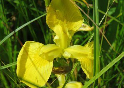 Ezeru krastos aug arī dzeltenās skalbes (Foto: Zaiga Kaire)